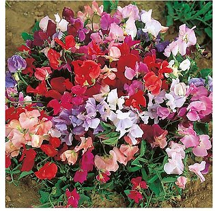 Sweet Peas Mix Seeds
