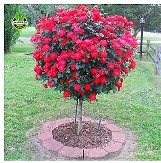 30 Double Red Yellow Rose Tree Seeds