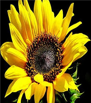 Sunflower yellow seeds by More Green