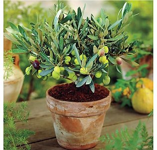 Green Olive Plants Seeds