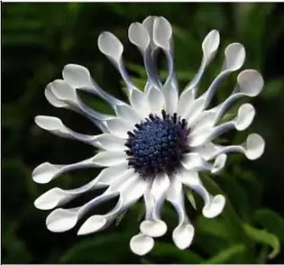 10 to 15 Whirligig Daisy Flowers Seeds