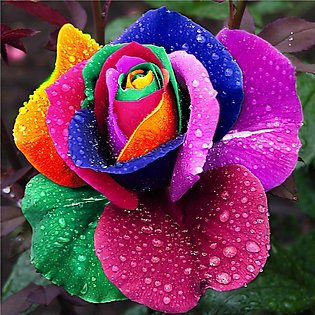 Rare Multi Color Rose Seeds