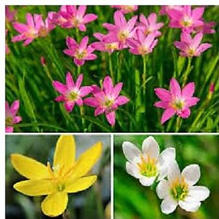 rain lilly mix 2-3 bulbs