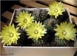 The Nursery Parodia Formosa Seeds-CAC13