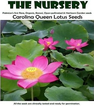 The Nursery Carolina Queen Water Lotus Seeds-CQLOU01